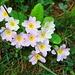 Schlüsselblume (Primula vulgaris) mit lila Blüten.