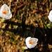 Frühlings-Krokusse (Crocus vernus).