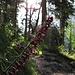 Braunrote Stendelwurz (Epipactis atrorubens)<br />So viele Orchideen und andere schöne Blumen wie heute haben wir am Schützensteig noch nie gesehen. Und wir sind wirklich nicht zum ersten Mal hier:-)!<br /><br />Epipactis atrorubens accanto al sentiero.<br />Oggi abbiamo visto tante orchidee e altri bei fiori come mai. E non ci siamo stati per la prima volta:-)!