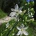 Rispige Graslilie (Anthericum ramosum) direkt neben dem Weg. Ist das nicht wunderschön?<br /><br />Anthericum ramosum tutto vicino al sentiero. Non è veramente bello?