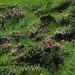 Alpenrosenfelder, wie schön!<br /><br />Quanto belli sono i campi dei rododendri!