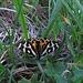 So ein schöner Falter: Der Braune Bär (Arctia caja) ist ein Schmetterling (Nachtfalter) aus der Unterfamilie der Bärenspinner (Arctiinae). Na, der Name passt!<br /><br />Che bella farfalla: Arctia caja. In tedesco si chiama orso bruno. Va bene questo nome:-)!