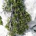 """diese Weide wächst dem Fels entlang: so fein sie wirkt, so alt sind die (oft meterlangen) """"Stämmchen"""" - der niederliegende Spalierstrauch Stumpfblättrige (oder) Gestutzte Weide"""