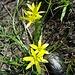 ... (wahrscheinlich der Röhrige: Blütenstiel behaart) trägt zur ...