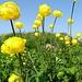 """auch die """"einfachen"""" (Europäischen) Trollblumen (""""Ankebälli"""") ..."""