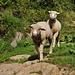 pecore escursioniste
