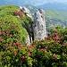 Alpenrosen, unmittelbar vor den Abgründen ...