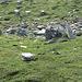 Auch in Österreich gibts Steinböcke...