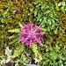 .. aber von oben: Stur vier Blüten in zwei Ebenen, je um 45° versetzt.