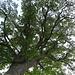 welch mächtiger Baum!