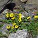 es blüht zwischen den Steinen: Kriechender Berg-Nelkenwurz