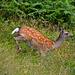 Rotwild im Glendalough Nationalpark.