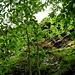 <br />Das sind die sogenannten 'Golden Rocks of Dongio'<br />____________________________<br /><br />(Gold In Them Hills - Katie Melua)<br />[http://www.youtube.com/watch?v=O9jSGrTiy6g]<br />______________________<br /><br />(After The Goldrush - Linda Ronstadt & Dolly Parton & Emmylou Harris)<br />[http://www.youtube.com/watch?v=tHTuxSzUacg]<br />_______________<br />________<br /><br />Mein Standpunkt: unter  der Rampe, <br />die zu den Heidenhäusern hinauf führt.<br />_____________________<br /><br />___________<br /><br />Um den Felsen so zeigen zu können, wie ich ihn gesehen habe,<br />habe ich mit den Reglern von iPhoto ein wenig gespielt<br />und sie hin oder her geschoben.<br /><br />Zwischen mir und meiner Kamera <br />gibt es immer wieder Meinungsverschiedenheiten:<br /><br />Ich zum Beispiel behaupte, die Natur sei so, wie ICH es sehe,<br />aber meine Kamera beharrt stur darauf, die Natur sei so,<br />wie SIE (also die Kamera) es durch die Linse sehe.<br /><br />Ich sehe zum Beispiel die Farben ganz anders als sie.<br />Aber oft - sogar viel zu oft - setzt sie sich durch, meine Kamera, <br />gegen alle meine Einwände.<br /><br />Aber es kommt zum Glück nicht selten vor,<br />dass ich mich gegen sie durchsetze - sogar immer öfter.<br /><br />Ich lasse mir doch von meiner Kamera <br />nicht ständig auf den Füssen herum tanzen.<br /><br />Sowas von einer EgoKamera, wie meine NIKON es ist - da könnt ihr lange suchen, <br />bis ihr so ne EgoZicke dieses Kalibers findet.<br />______________<br />_________<br />______<br />☛☛☞☞☛➞➟➠➡➨➦➥➫➬➫➪➩➙➛➝⇢⇨⇾⇝⟿⇝⟿⇝⟿<br />_________________<br />__