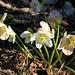 endlich kommt der Frühling und die Schneerosen blühen