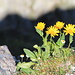 <strike>Arnica montana</strike> Gemswurz (Doronicum clusii)