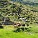 Alp di Stabweder - Heimkehr der Ziegen