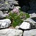 Welch ein Kontrast - Blumenpolster des Leimkraut und Granit