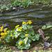 Sumpfdotterblumen und Pestwurz (Caltha palustris und Petasites hybridus)
