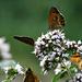 Schmetterling kurz vor Bloedelsheim