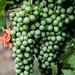 Weintrauben vor Oppenheim