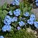 Keine Steinwüste zu gemein, ein Blumenbeet zu sein: Alpen-Vergissmeinnicht