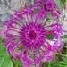 ein Kunstwerk, die Gewöhnliche Skabiosen-Flockenblume (auch: Alpen-Flockenblume)