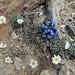 schlicht, doch wunderschön, diese Kombination der Alpenblumen