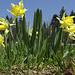 Aus der Käferperspektive: Aprilglocken - Jonquilles (Narcissus pseudonarcissus)