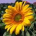 Die ersten Sonnenblumen machen dem Wetter alle Ehre