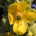 Blüte einer Königskerze