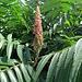 Blüte eines Essigbaums