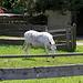 Ein weißer Esel ?