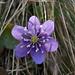 Anemone fegatella (Hepatica nobilis)
