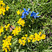 Bayrischer Enzian im Hornklee (Gentiana bavarica, Lotus corniculatus)