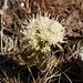 Farfaraccio bianco (Petasites albus)<br />