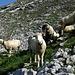 Auch hier: neugierige Schafe