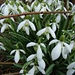 Galanthus nivalis - Bucaneve - Schneeglöckchen - Snowdrop