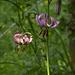 Der Türkenbund, eine mehrjährige Lilie, die es gerne halbschattig bis schattig hat.