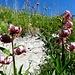 Dutzende der äusserst dekorativ-kunstvollen Blumen bereichern unsern Aufstieg