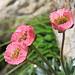 Die jungen Gletscherhahnenfüsse (Ranunculus glacialis) sind noch pink