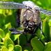 Die Libelle von vone, leicht zu fotografieren, denn sie ist tot.