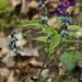 Frühlins-Platterbse (Lathyrus vernus)