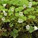 Gemeiner Sauerklee (Oxalis acetosella) - leicht giftig, in der richtigen Dosierung Heilpflanze