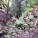 Eibenwald-Impression VII. Hier hat die Erosion die Jurafaltung freigelegt. Der Winkel der Faltung entspricht genau der Lägern.