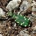 ...wieder mal ein neues Tier entdeckt. Ein grün-weisser Käfer.
