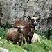 Ist man auf Schafwegen unterwegs, trifft man ab und an auch sie.