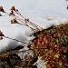 Saxifrage en hiver