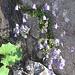 Campanula cochlearifolia. Campanulaceae.<br /><br />Campanula dei ghiaioni.<br />Campanule naine.<br />Niedliche Glockenblume.