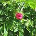 Rosa pendulina. Rosaceae.<br /><br />Rosa alpina.<br />Rosier des Alpes.<br />Alpen-Hagrose
