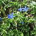 Gentiana bavarica. Gentianaceae.<br /><br />Genzianella della Baviera, Gezianella azzurra.<br />Gentiane de Bàviere.<br />Bayerischer Enzian.
